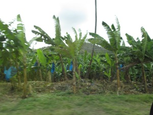 Banana Trees on St. Lucia